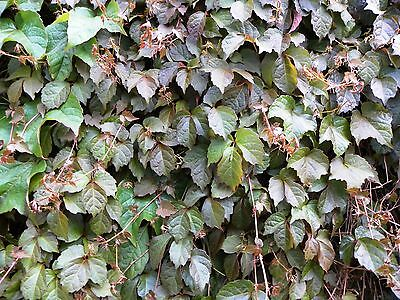 Parthenocissus tricuspidata 'Veitchii' Boston ivy X 1