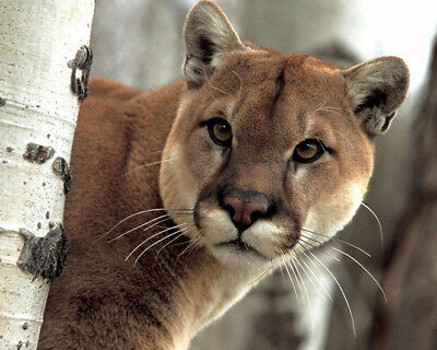 Wild Cat PUMA Glossy 8x10 Photo Nature Print Wall Art Poster Cougar