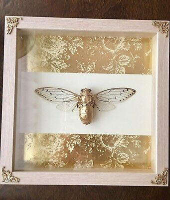 real framed cicada display home wall decor natural gold insect bug taxidermy