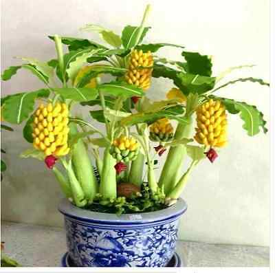 Semi Rari Di Banana Rare Seeds Bonsai Dwarf Banana Bonsai Tree Indoor Outdoor