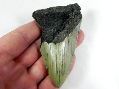 3  7/16 inch Bargain Fossil Megalodon Shark Tooth Teeth.