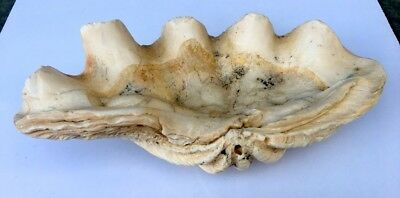 Ancient Old Rare 13 x 6 /4 inch Big Natural TRIDACNA GIGAS Sea Shell GIANT CLAM