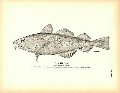 Rare 1884 Antique Fish Print ~ The Cod Collection ~ Lot of 5 prints