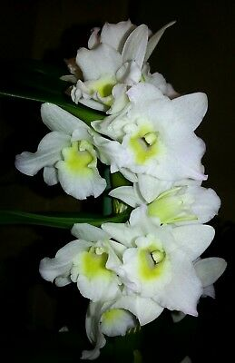 Beautiful Dendrobium Nobile Orchid- Ice White -      1 x Keiki - Young plant 🍃