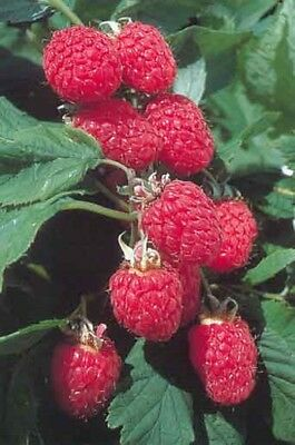 7 x RASPBERRY CANES  PLANTS Tulameen BARE ROOTED