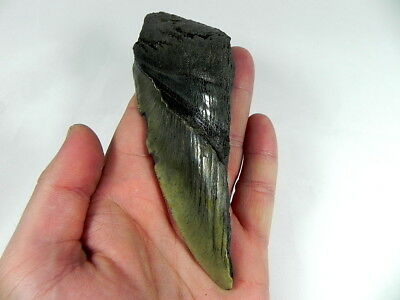 5  7/16 inch Fossil Megalodon Prehistoric Shark Tooth Teeth. Huge Tooth!