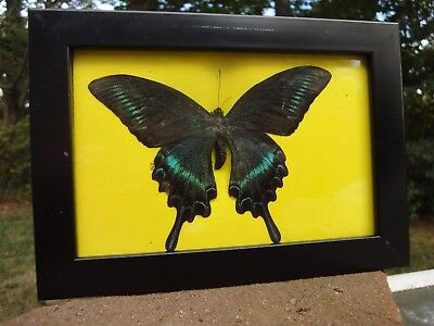 Real butterfly framed