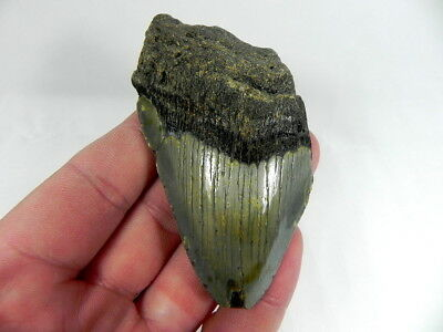 3  1/2 inch Fossil Megalodon Prehistoric Shark Tooth Teeth. Nice Curvature