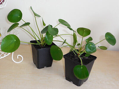 Round leaf house plant 1x Pilea peperomiodes Chinese Money Plant evergreen