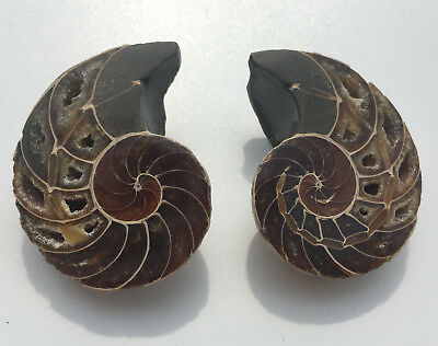 58.4g 1 pair of natural conch slice fossil Rainbow color shell madagascar P8