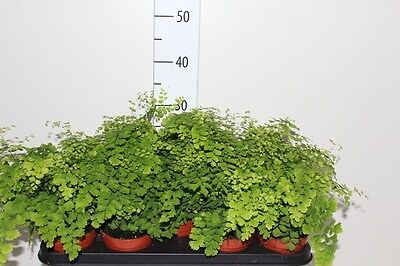 Adiantum raddianum Fragrans height approx. 35cm Maidenhair fern house plant