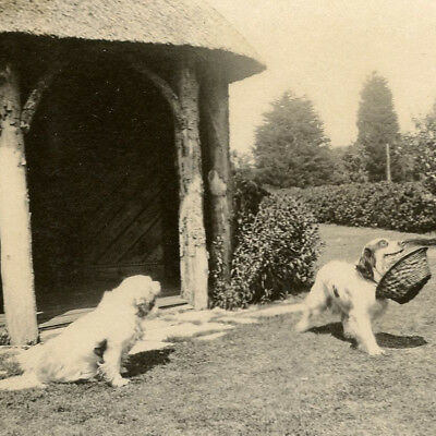 "1922 Named Clumber Spaniels ""pilgrim"" ""pilot"" Dog Snapshot Photo Vintage Gundog"