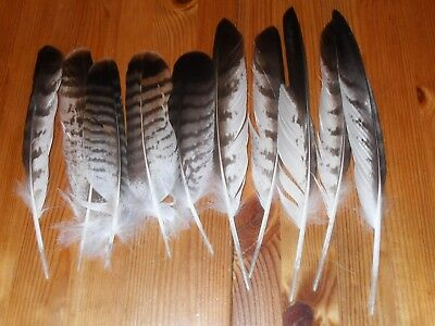 13 Molted Buzzerd  Feathers. Fly Tying .art&craft,hair,jewellery,floral.