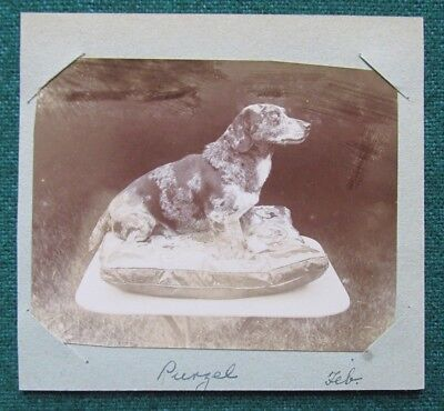 Antique Victorian Photo of Dog Called Purzel in Cannes circa 1898