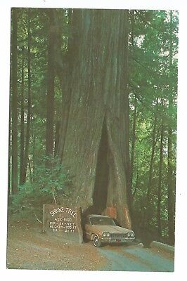 1964 postcard, 1960s Chevy in The Shrine Tree, Myers Flat CA, Redwood Empire