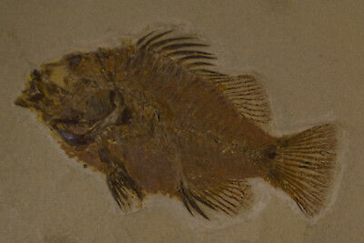Priscacara Serrata 50 myo Fossil from Green River Formation Wyoming