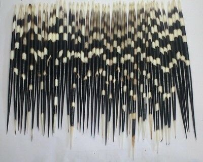 50 African Porcupine Quills Graded 10 to 12 inches