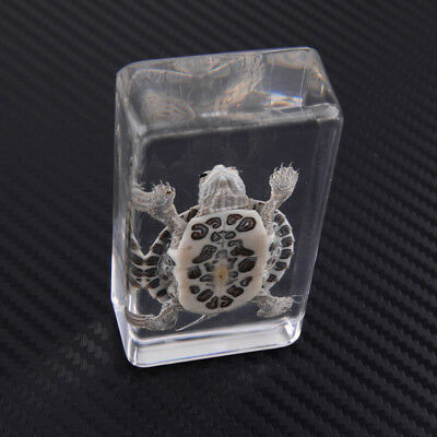 Specimen Animal Farmed Amber Real Turtle in Clear Lucite Instrument Educationa
