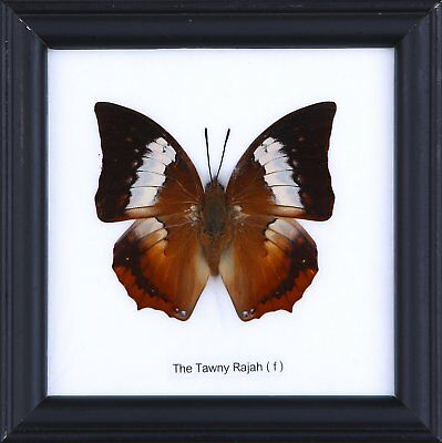 The Tawny Rajah Butterfly - Real Framed Specimen | by NaturalHistoryDirect | Exo