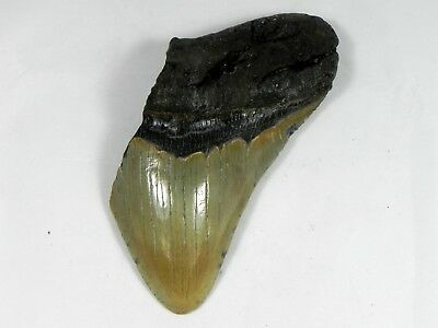 4  5/8  inch Fossil Megalodon Prehistoric Shark Tooth Teeth. Wide Tooth!