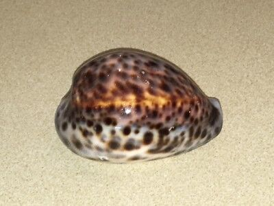 Cowrie Tiger shell 9cm Sea shell