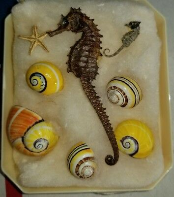 Dried Seahorse Hippocampus Erectus Skeleton Full Body + bonus mini & more!!