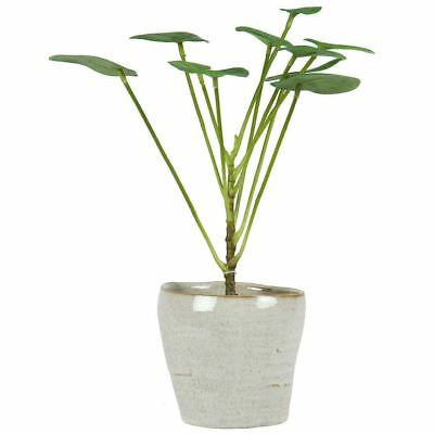 NEW Green Wht Money Plant 33Cm By Freedom