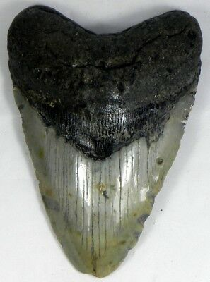 5  7/16 inch Fossil Megalodon Prehistoric Shark Tooth Teeth. Massive Tooth
