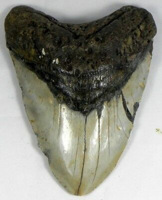 5  5/16 inch Fossil Megalodon Prehistoric Shark Tooth Teeth. Massive Tooth