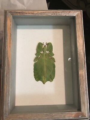 Leaf Mimic Insect Reall Phyllium Bioculatum Bug Taxidermy in wooden frame
