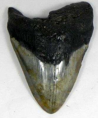 5  3/8 inch Fossil Megalodon Prehistoric Shark Tooth Teeth. Great Colors