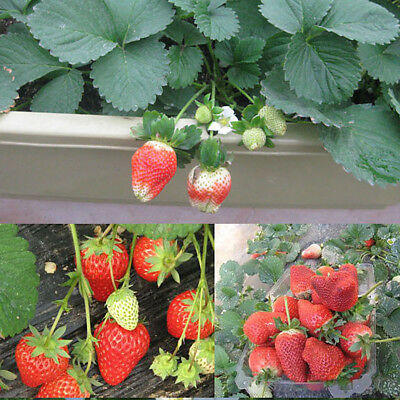 100 Pcs Rare Red Strawberry Seeds Garden Fruit Plant Sweet And Delicious