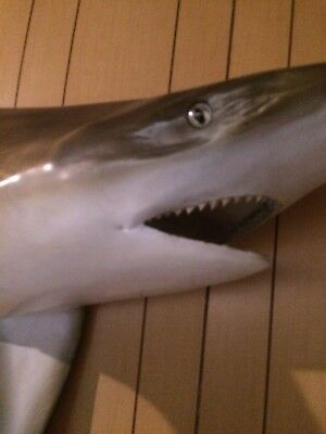 """taxidermy shark REAL not fiberglass caught in Miami in 1972 7'2""""..."""