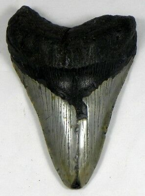 4  3/4 inch Fossil Megalodon Prehistoric Shark Tooth Teeth. Huge Tooth