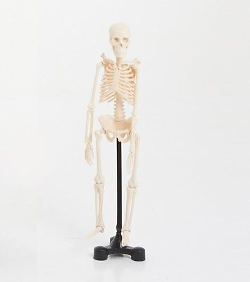 Skeleton model 46cm home education, science , Montessori