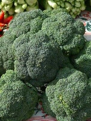 Di Cicco Broccoli Seeds Heirloom High Yielding Vegetable Seed