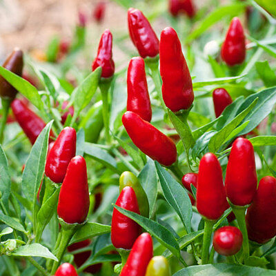 Thai Hot Chilli Seeds Super Hot High Yielding Compact Growing Vegetable Seed