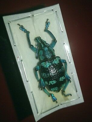 Beautiful Blue & Black Weevil - Eupholus linnei - Taxidermy Oddities