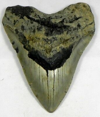 5  Inch Fossil Megalodon Prehistoric Shark Tooth Teeth. Amazing Colors