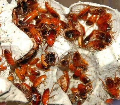 Red Runners - Turkestan cockroach - Cricket Alternative - Live Insect Feeder