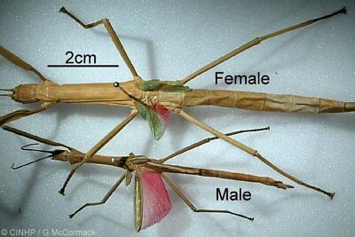 LIVE Walking stick insects 2 Females each or 1 Female and 1 Male Your Choice