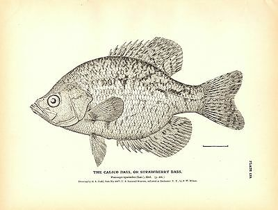Rare 1884 Antique Fish Print ~ The Crappie Collection ~ Lot of 2 prints