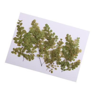 10x Pressed Real Dried Flowers Adiantum for DIY Floral Art Craft Card Making
