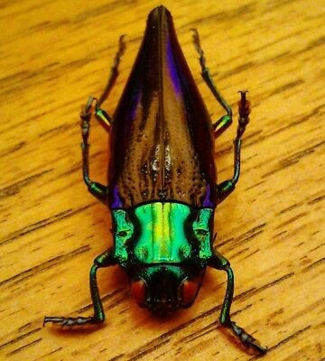 Metallic Wood-boring Beetle - Cyphogastra calepyga - Entomology Taxidermy