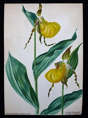 Antique 1920s Watercolor Drawing Yellow Lady Slipper Orchid Botanical Study