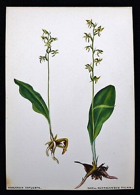 Antique 1920s Watercolor Drawing Small Northern Bog Orchid Botanical Study