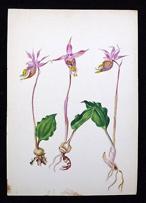Antique 1920s Watercolor Drawing Orchid Botanical Study