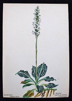 Antique 1920s Watercolor Drawing Downy Rattle Snake Plantain Botanical Study