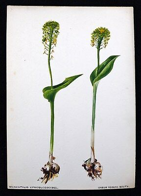 Antique 1920s Watercolor Drawing Green Adders Mouth Flower Botanical Study