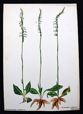 Antique 1920s Watercolor Drawing Slender Ladies Tresses Orchid Botanical Study